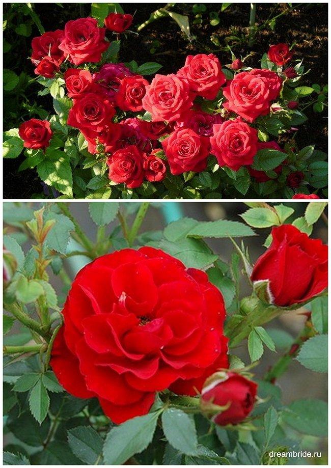 виды роз с фото и названиями_миниатюрная роза сорт zwergkonigin