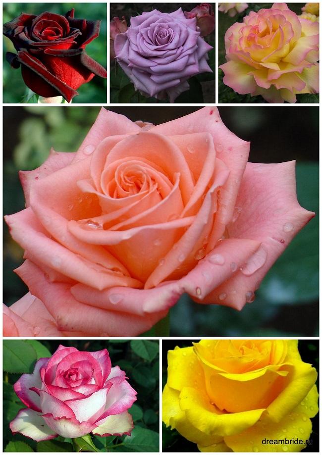 если виды роз с фото и названиями подиуме